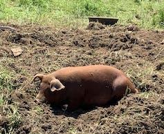 Pig sunbathing in pasture.