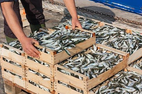 Cajas de sardinas recién capturadas en muelle.