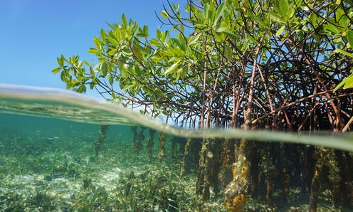 Mangrove tree roots above and below the water.