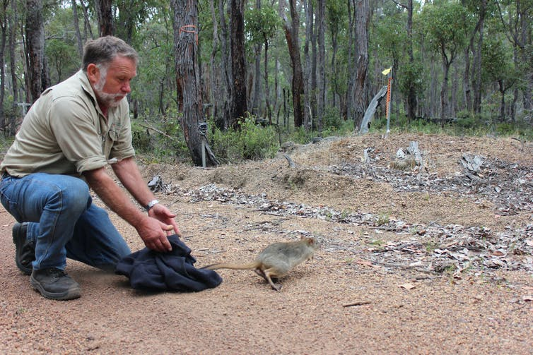 Conservation worker releases woylie