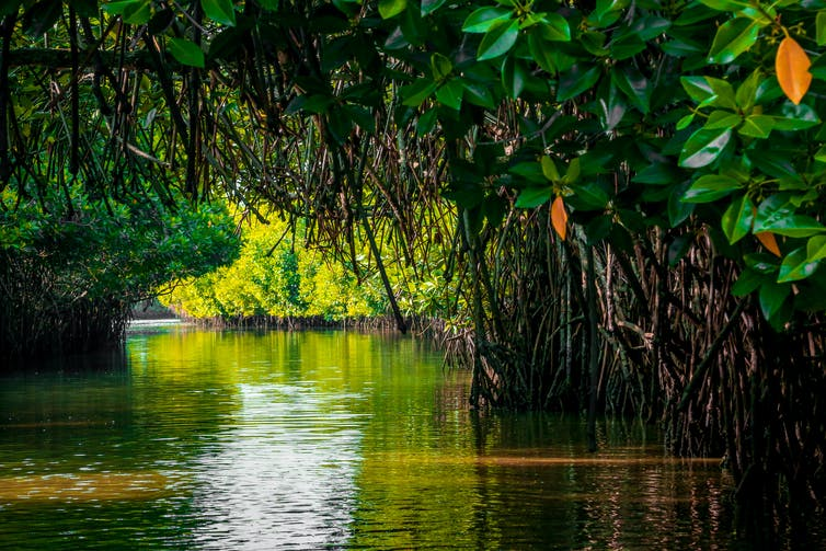 Under the canopy in a tropical mangrove forest.