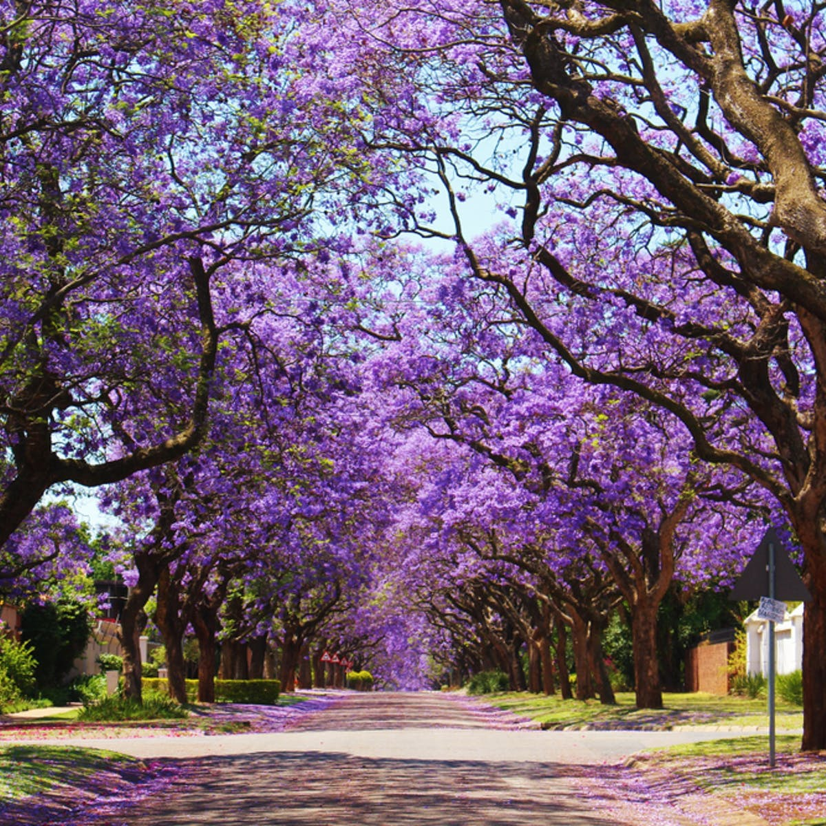 Jacarandas In Parts Of South Africa Are Flowering Earlier Why It S A Warning Sign