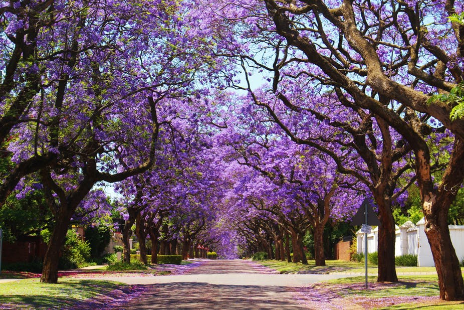 Trees with purple flowers on a suburban street.
