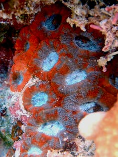 red fleshy coral with blue spots