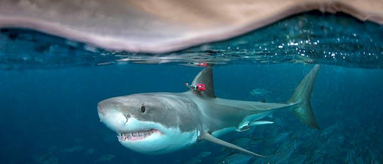 Un tiburón blanco bajo el agua, cara a cara.