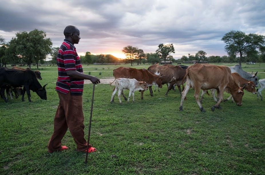 Un homme surveille le bétail et le ciel dans un champ dans le district de Kilosa, en Tanzanie
