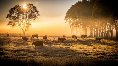 cows in field with trees