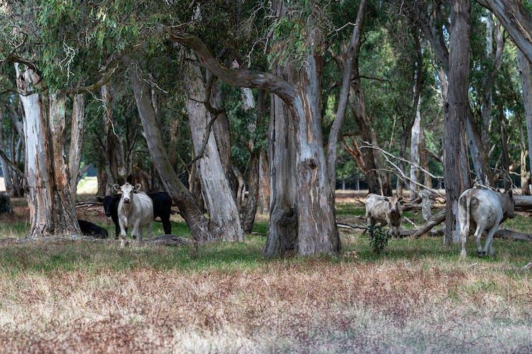 cows graze among trees