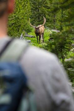 Elk viewed over a hiker's shoulder.