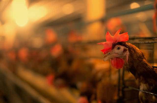battery hen farm