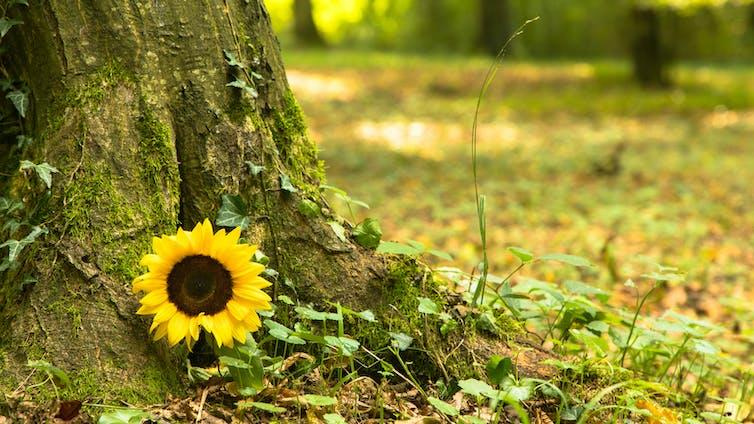 Un tournesol est déposé au pied d'un arbre