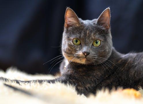 A grey house cat