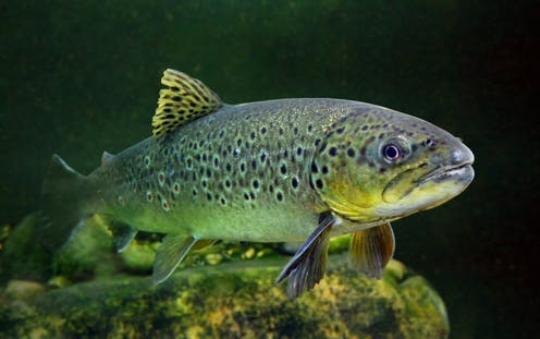 A close-up of a brown trout in a mountain lake.