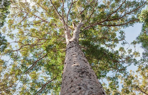 Kauri tree, seen from below, looking up into the canopy