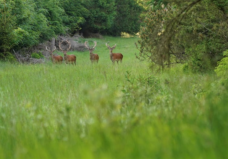 Four red deer stags in a roadside clearing.
