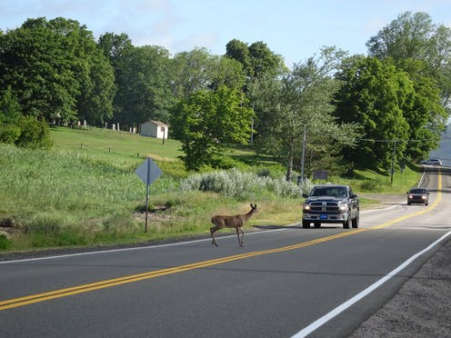 A deer pauses before a car on a road.