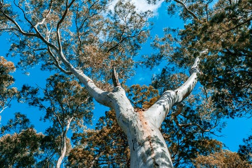Looking up at the canopy of a river red gum