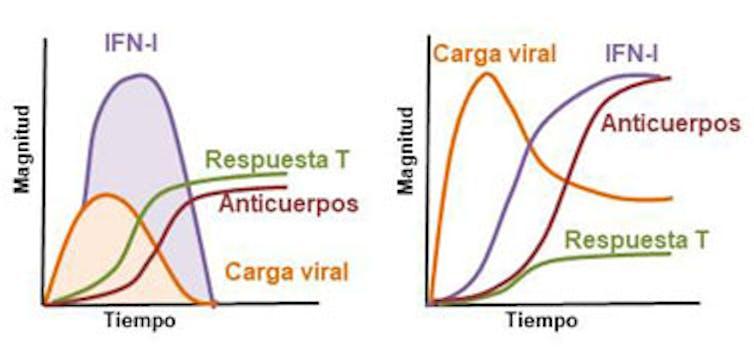 Figura 1. Os individuos que controlan ben a infección por coronavirus SARS-CoV-2 (gráfica esquerda) adoitan ter unha menor cantidade de anticorpos que os non controladores (gráfica dereita) e, por tanto, estes últimos desenvolven unha enfermidade máis grave. En gran medida, a adecuación da resposta está condicionada pola dinámica na produción de interferóns tipo I ( IFN-I), e doutros compoñentes da resposta inmunitaria innata.