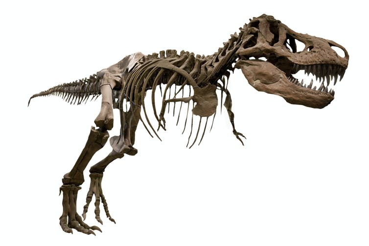 The skeleton of a _T. rex_.