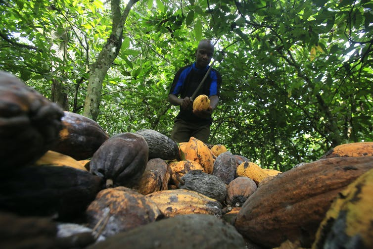 Farmer standing near his harvested crop of cocoa.
