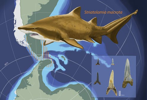 Illustration of the shark, its zone around Antarctica and South America, and several teeth