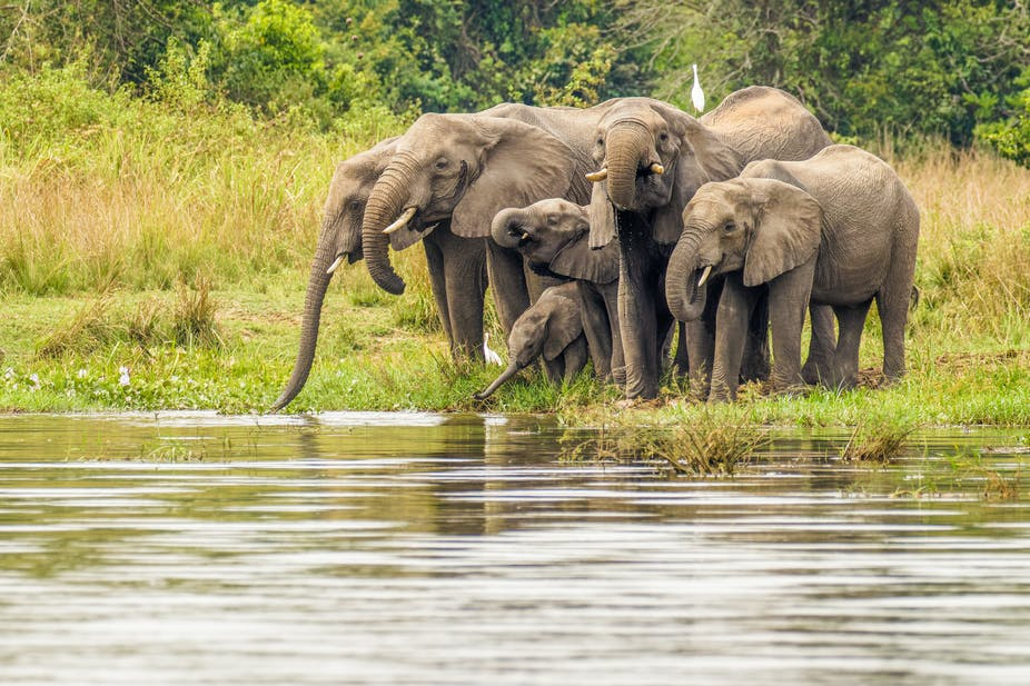 A herd of elephants at a watering hole. There are four large elephants, one smaller and one is a baby, dipping its trunk in the water.