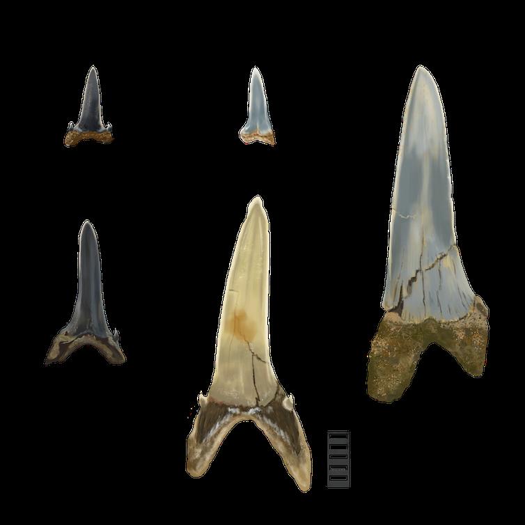 Five sizes of shark teeth