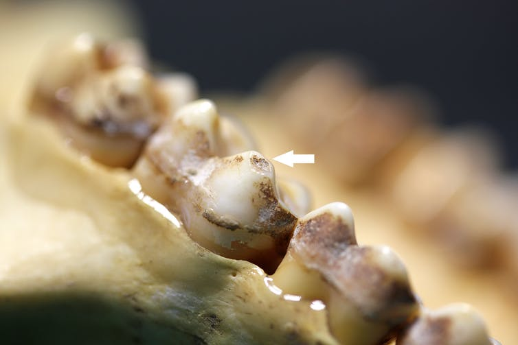 Fossil teeth showing chipping.