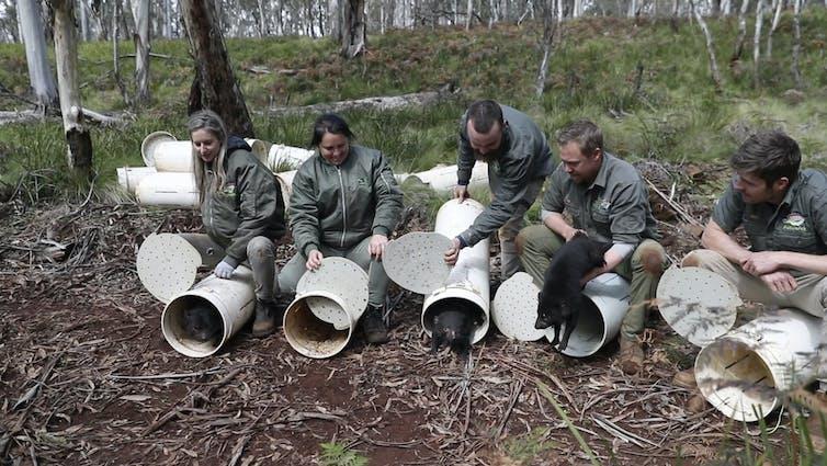 people release Tasmanian devils
