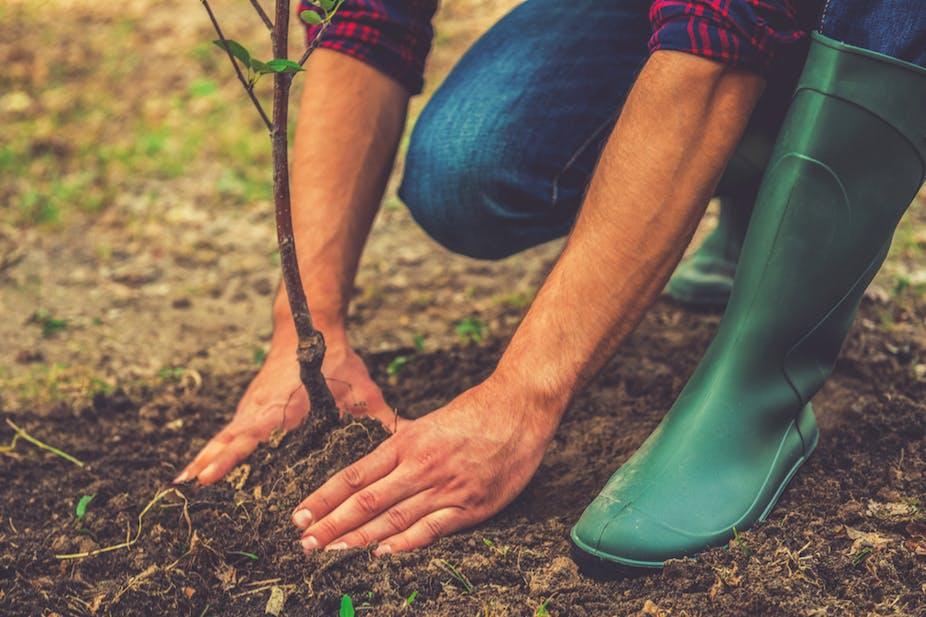 Homme plantant un jeune arbuste