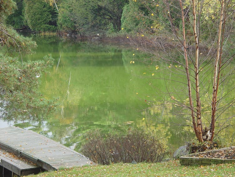 A lake near Parry Sound, Ont., covered in algal bloom.