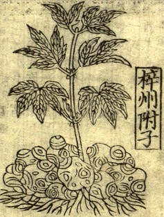 Historical illustration of a plant with leaves and large tubers