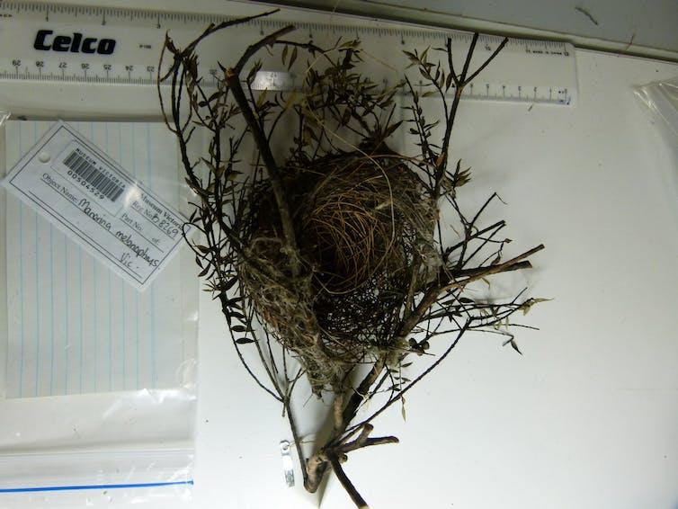 Headphones, saw blades, coat hangers: how human trash in Australian bird nests changed over 195 years
