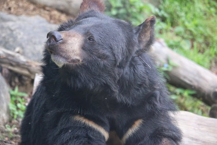 The head and shoulders of a large black bear with two brown stripes on its chest.