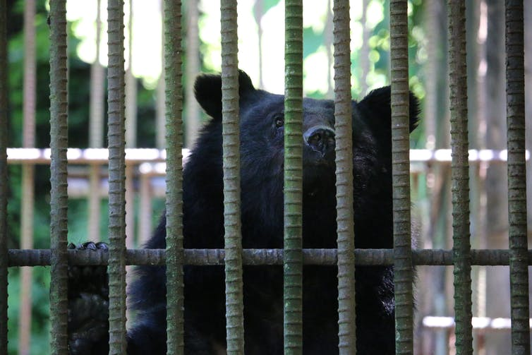 A black bear's head looms behind bars.