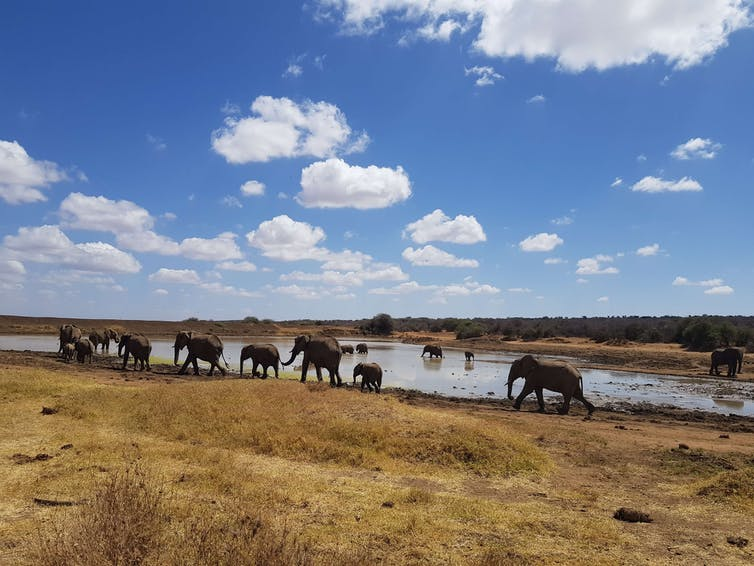 A herd of elephants departing a lake.