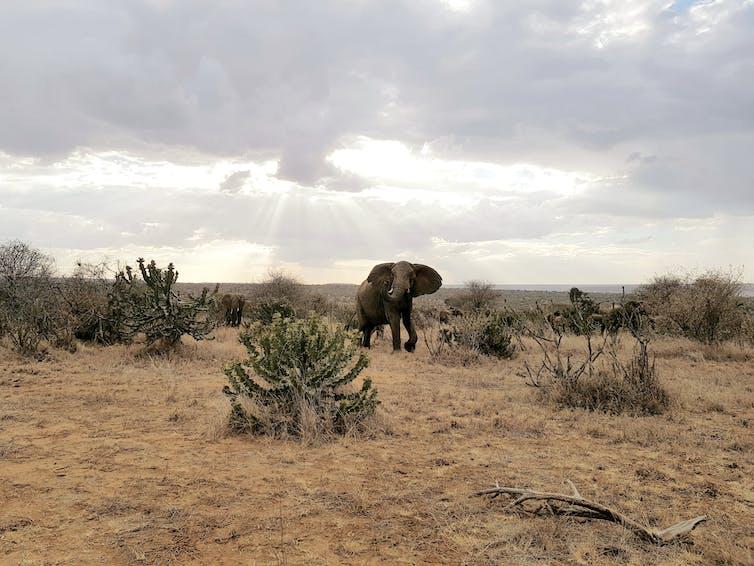 A large elephant amid African scrubland.