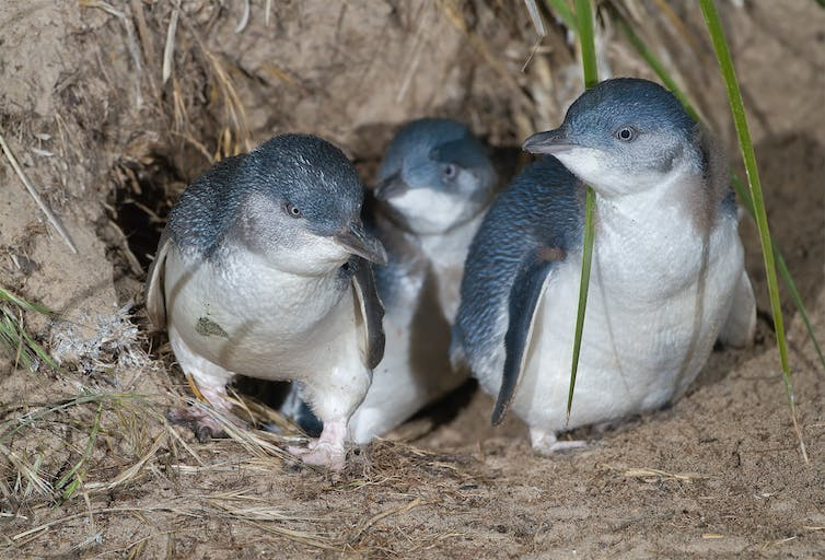 Three small penguins emerge from a burrow
