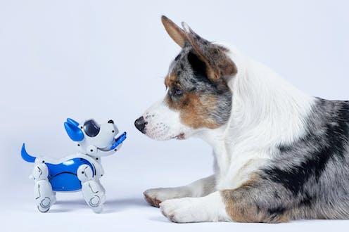 A robot dog and a corgi are face to face.