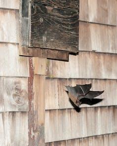 Big brown bat flying out of a bat box.