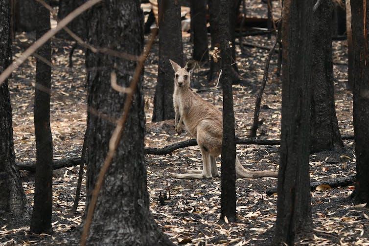 Kangaroo in burnt bushland