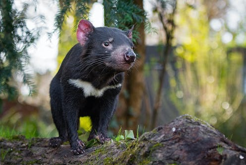 A small, black, furry Tasmanian devil stands on a rock in a forest