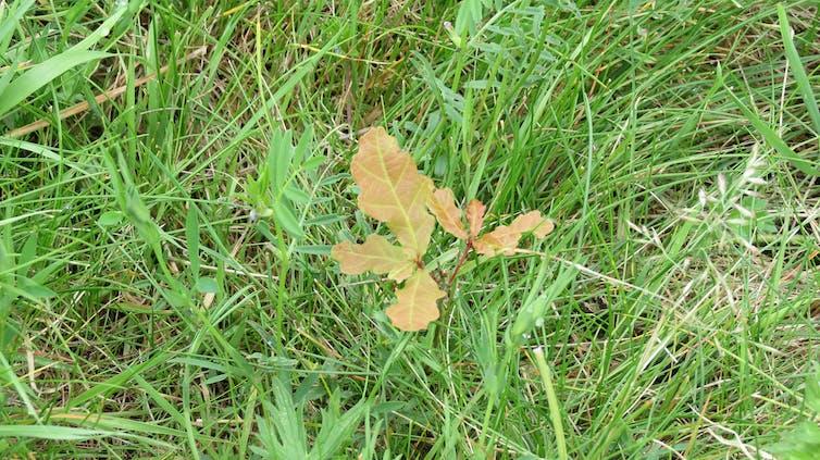 An oak seedling poking through a grass field.