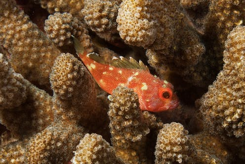 A yellow spotted scorpionfish swims through coral polyps.