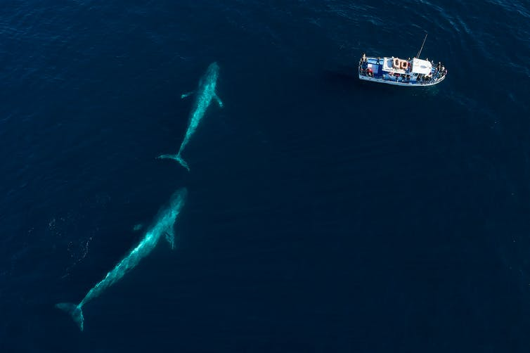 Two blue whales near a boat