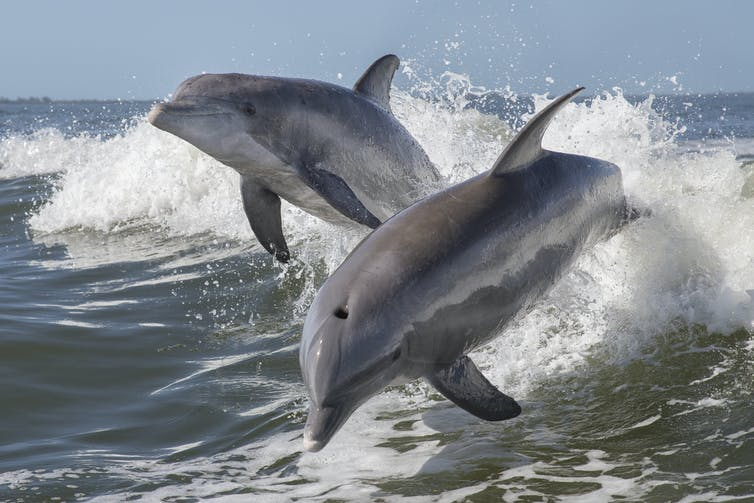 Two bottle nose dolphins