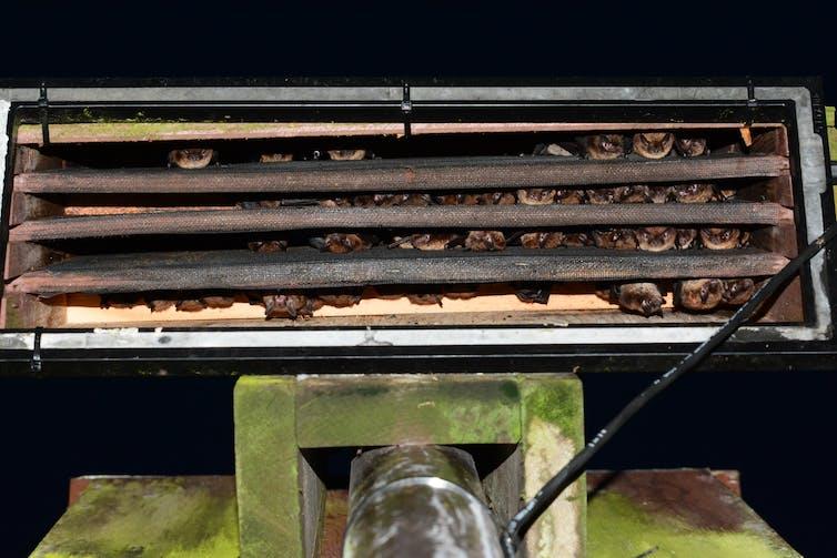 Bats roosting inside a bat box.