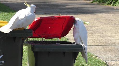 Two cockatoos opening a bin