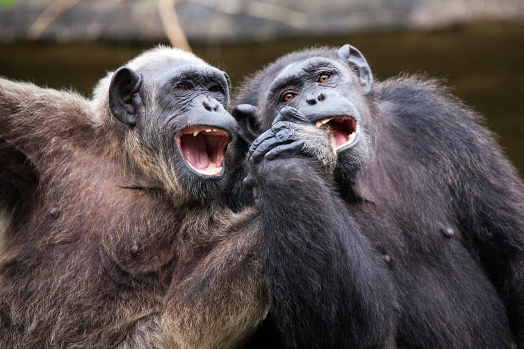 Two chimps