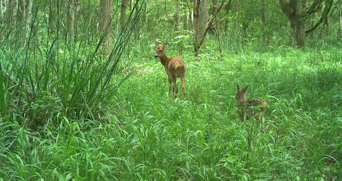 A deer and a foal surrounded by woodland vegetation.
